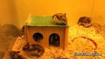 20 hamsters dans la maison. hamsters drôles