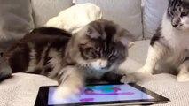 Cartes Maine Coon. Chats attraper une souris sur la tablette