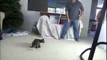 Jeux fous dans l'appartement avec son chat savane. Chat saute haut