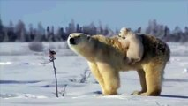 Ours blanc avec ses petits. Ours drôle avec deux oursons amusant