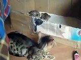 Bengal chat caressant leurs chatons. Chatons drôle de chat et