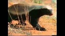 The Crazy Nastyass Honey Badger (original narration by Randall)