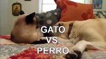 TOP 5 Peleas De Gatos! ► A CUAL ELIGES Gatos peleando, gatos locos, gatos divertidos