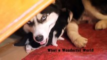 Siberian Husky Puppies How they Growing UP Cute Puppy / Cute Dogs