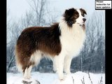 collcetion of dog breed Border Collie pictures | Border Collie Dogs