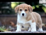 Set of Pembroke Welsh Corgi dog breed picture collection | Pembroke Welsh Corgi Dogs