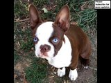 dog breed Boston Terrier picture collection ideas | Boston Terrier Dogs