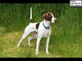 Set of German Shorthaired Pointer dog breed picture collection | German Shorthaired Pointer Dogs