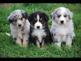 lovely pics of dog breed Australian Shepherd dogs | Australian Shepherd Dogs