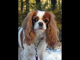 Set of Charles Spaniel dog breed picture collection Charles Spaniel Dogs