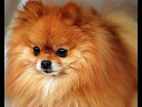 Set of Pomeranian dog breed picture collection | Pomeranian Dogs