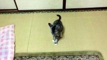 ★ Gato Loco Se Ataca A Si Mismo! ★ humor gatos - video divertido gatos - gatos chistosos
