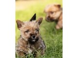 Puppy Terrier - Cute and lovely dog pics collection | Norwich Terrier puppy