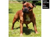 Terrier breed Collection of cute dog pictures | Staffordshire Bull Terrier