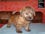 Puppy Terrier - Cute and lovely dog pics collection | Norfolk Terrier puppy