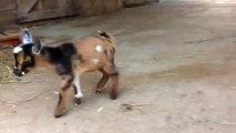 Quand des bébés chèvres rencontrent un chat
