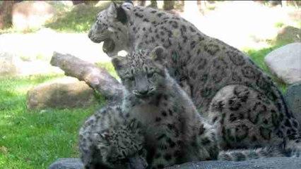 Illinios presenta a sus dos nuevos cachorros de leopardo de las nieves