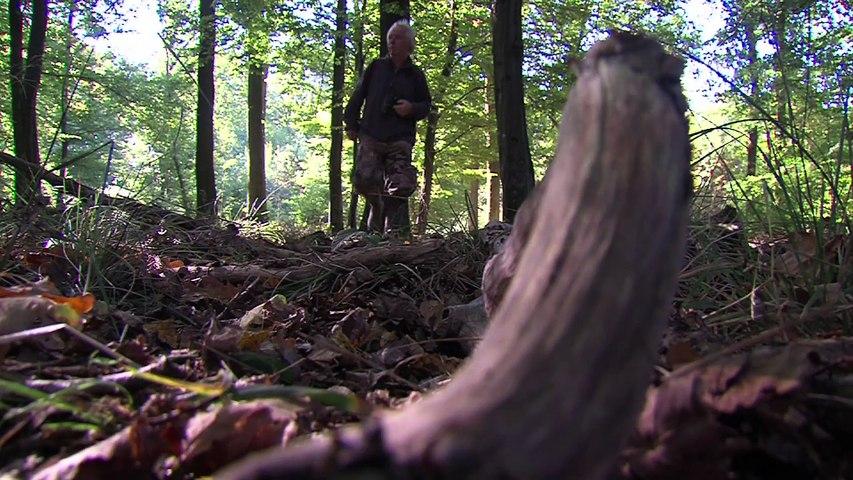 Les cerfs en forêt de Mormal
