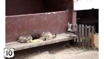 Corbeau ottaskala la queue du chat et ne laisserait pas manger. Crow et chats drôles