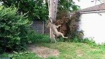 Spectacle de gymnastique. Funny dog gymnastes de pit-bulls