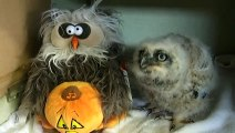 Cute Baby Owl adorably dances with Owl dancing Plush (2)