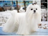 Maltese Dog Breed | Dog type Maltese breed set of picture ideas