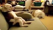 ★ ESTE BULLDOG ES MAS HUMANO QUE YO! ★ Perros Locos - Humor Perros Perros Divertidos Chistosos