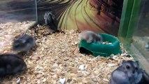 Un hamster fait des saltos arrières