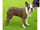 Boston Terrier Dog Breed | Cute dog picture collection of breed Boston Terrier