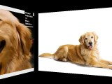 Golden Retriever Dog Breed | Cute dog picture collection of breed Golden Retriever