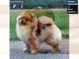 Pomeranian Dog Breed | Dog type Pomeranian breed set of picture ideas