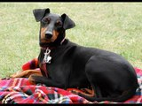 dog Manchester Terrier | Picture collection of Terrier Dog Breed