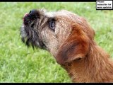 dog Border Terrier | Terrier Dog Breed Pictures