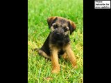 dog Border Terrier puppy | Picture Ideas of Terrier Dog Breed and puppy