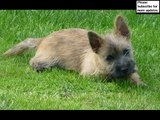 dog Cairn Terrier puppy | Picture Ideas of Terrier Dog Breed and puppy