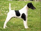 dog Fox Terrier | Terrier Dog Breed Picture collection