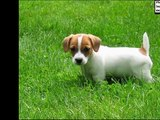 dog Jack Russell Terrier puppy | Picture Ideas of Terrier Dog Breed and puppies