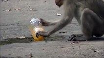 Thirsty Monkey. Funny monkey drinking drink