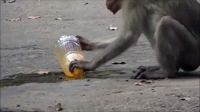 Thirsty Monkey. Funny monkey drinking drink