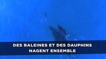 Des baleines et des dauphins nagent ensemble