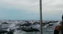 Spectacle grandiose avec un immense banc de dauphins
