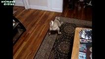 Chats drôles essayant dattraper la lumière laser Chats vs pointeur laser [VIDÉO HD]