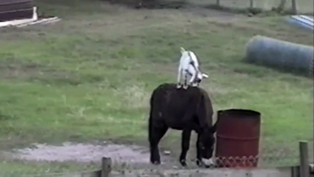 Goats Riding Donkeys