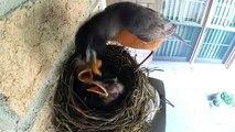 Breakfast chicks. Funny mother bird feeding chicks