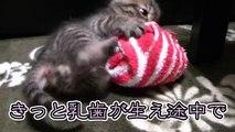 【第26話】1匹遊びをする子猫(面白い&可愛い子猫)
