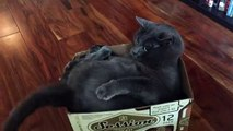 Ce chat était bien détendu dans une boîte jusqu'à ce que sa queue décide d'agir autrement