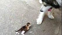 Un gros chien materne un chaton