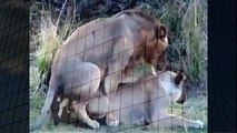 Lion Making Love Mating Animals   Animal Attacks And Loves when animals attack