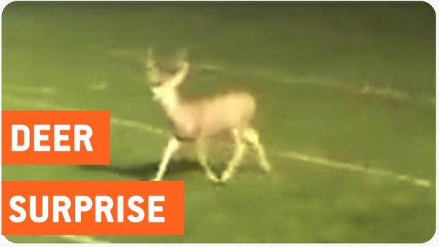 Deer Crashes High School Football Game   Rein-deer Delay