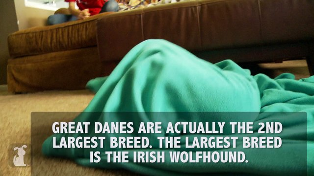 """""""GREAT"""" Great Dane Facts"""
